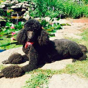 Alli - Little did realize how amazing a poodle can be when it comes to providing a therapeutic paw!